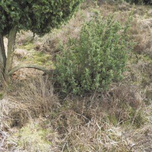Omgevallen tak, zijtakken groeien verticaal