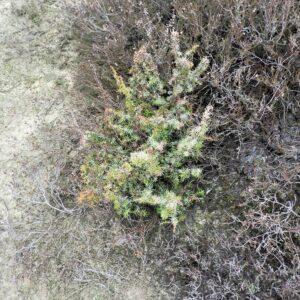 Jonge jeneverbes met vorst- of droogteschade, Balingerzand