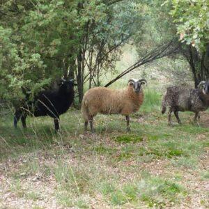 De schapen kijken toe, maar helpen niet mee